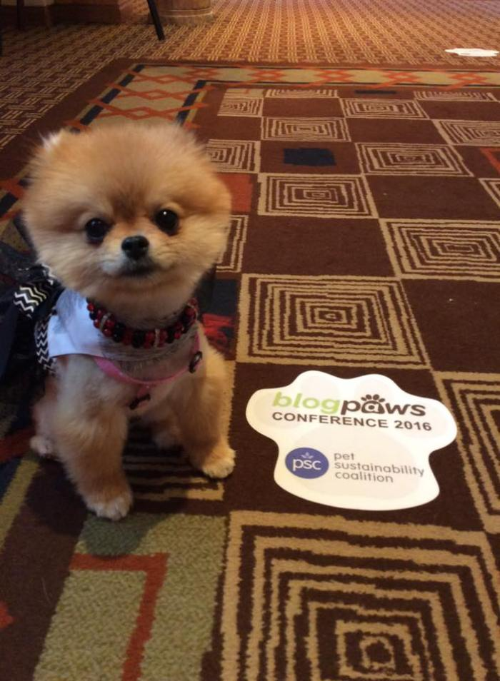 Annabella Pomeranian at BlogPaws Conference 2016